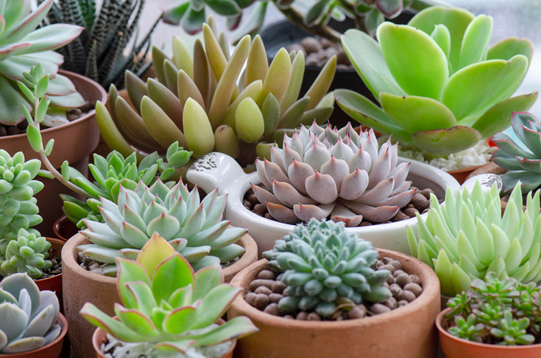 多肉植物の種類や育て方
