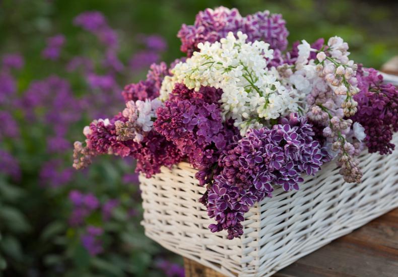 ライラック 英語 リラ フランス イギリス 日本 花言葉 由来 習わし 言い伝え ジンクス エピソード 色種類