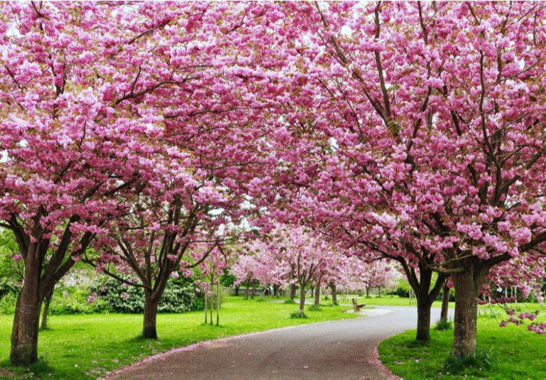 今日は何の日Domaniドマーニクイズ問題3月27日さくらの日桜由来お花見歴史
