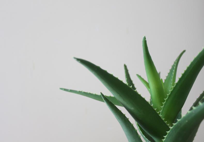多肉植物 代表種 初心者 育てやすい