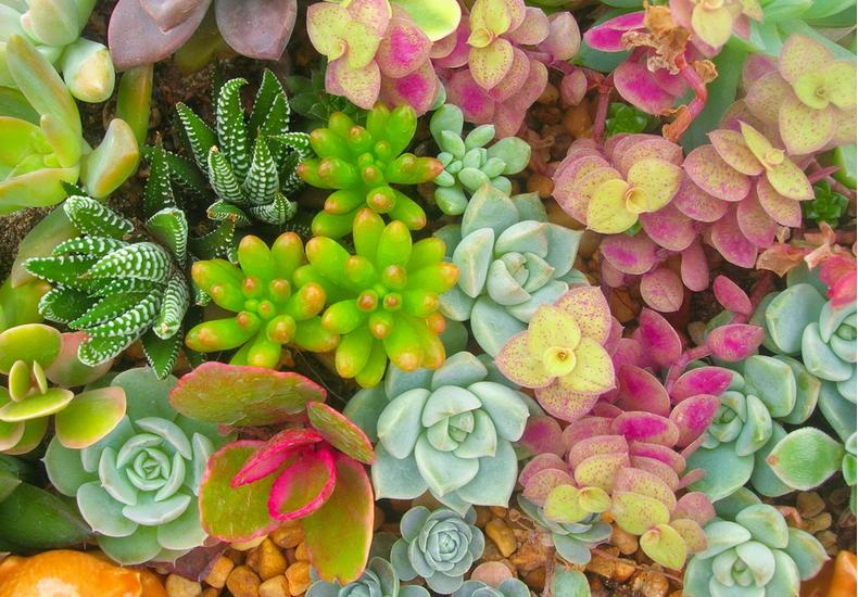 多肉植物 代表種 カラフル 色 きれい 形 かわいい