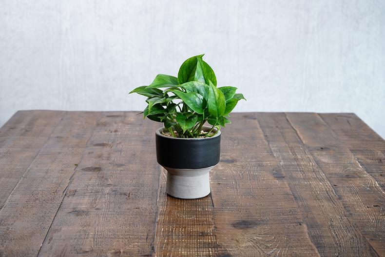 観葉植物 ポトス おすすめ